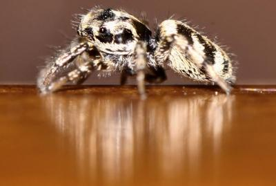 Les araignées sauteuses