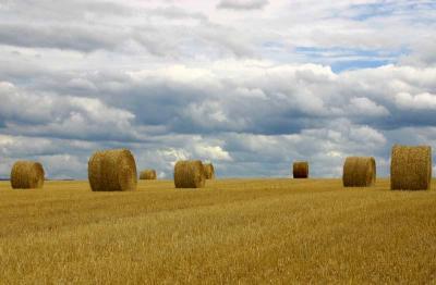 Champ de blé moissonné