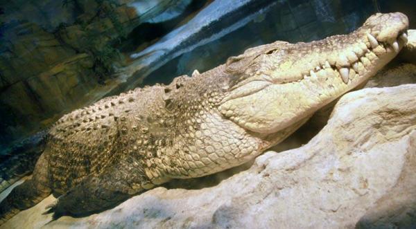 Ah ! Les crocodiles du Zoo d'Amneville