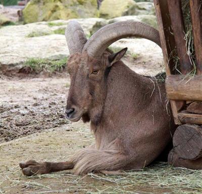 Mouflon à manchette