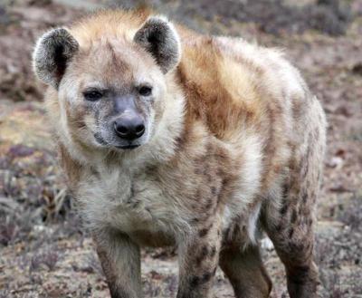 Hyène rieuse