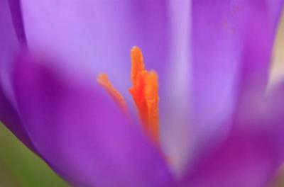 Crocus (C'est le printemps)