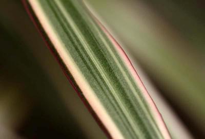 Feuille de … ? Dracaena marginata 'Tricolor'